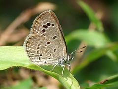 240px lesser grass blue zizina otis 2 by kadavoor