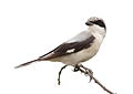 Lesser Grey Shrike, Lanius minor at Pilanesberg NP (15434981183).jpg