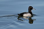 A black-and-grey duck with a yellow eye swims on calm water