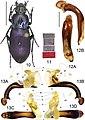 Lesticus violaceous (10.3897-zookeys.782.27187) Figures 10–13.jpg