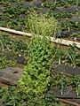 Lettuce (2274783796).jpg