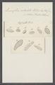 Leucophra nodulata - - Print - Iconographia Zoologica - Special Collections University of Amsterdam - UBAINV0274 113 16 0028.tif