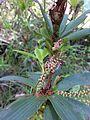 Leucopogon verticillatus Diamond Tree Lookout.jpg