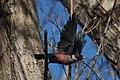 Lewis's Woodpecker (10910703783).jpg