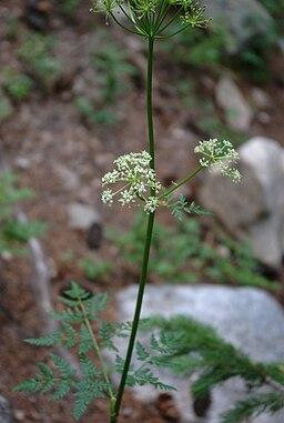 Ligusticum porteri flowers1
