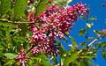 Lilac (2601180053).jpg