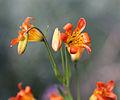 Lilium parvum alpine lily flowers close buds.jpg