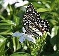 Lime Butterfly (Papilio demoleus) in Hyderabad, AP W IMG 9548.jpg