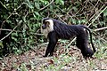 Lion Tailed Macaque (26248370683).jpg