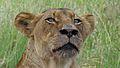 Lioness (Panthera leo) (6025774464).jpg