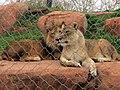 Lions (6434485275).jpg