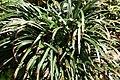 Liriope muscari 4zz.jpg