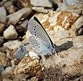 Little Blue Cupido minimus (30427025877).jpg