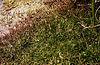LittorellaUniflora2.jpg