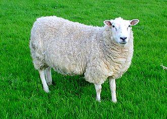 Llŷn Peninsula - A Lleyn ewe