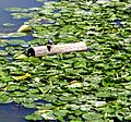 Log amongst the water lillies (2700243244).jpg