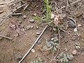 Lomatium foeniculaceum (4050308048).jpg