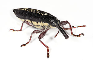Weevil - Image: Long nosed weevil edit