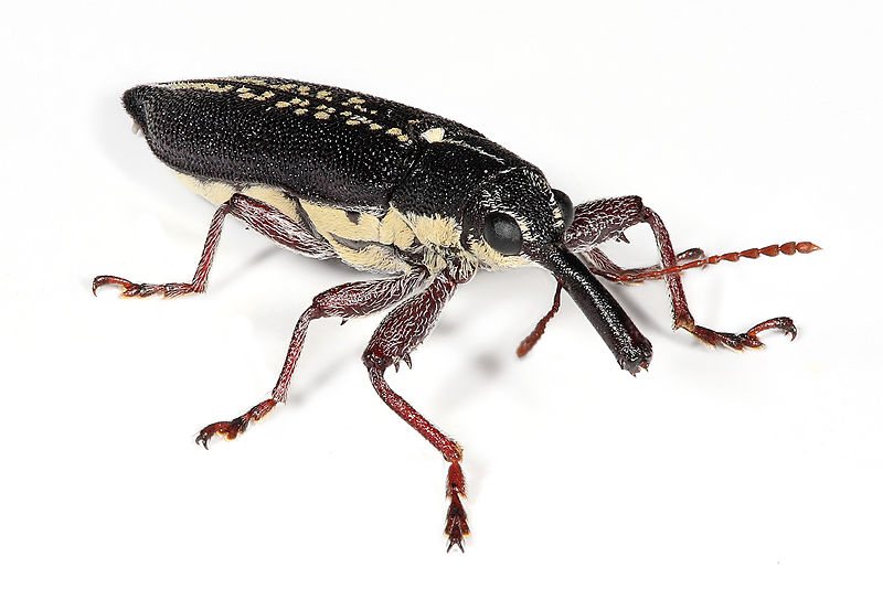 File:Long nosed weevil edit.jpg