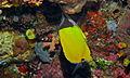 Longnose Butterflyfish (Forcipiger longirostris) (8473176833).jpg