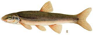Longnose dace species of fish