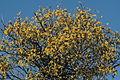 Loranthus europaeus (Riemenmistel) IMG 0679.JPG