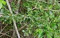 Lowveld Milkberry (Manilkara mochisia) (16424140128).jpg