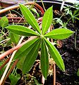 Lupinus polyphyllus20090721 33.jpg