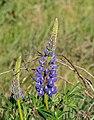 Lupinus polyphyllus in Canterbury Region 08.jpg