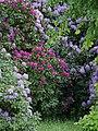Luther-Friedhof.Rhododendren.jpg