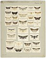 MA I437913 TePapa Plate-LII-The-butterflies full.jpg