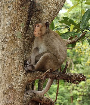 Macaca fascicularis. Monkey in the jungle, on a branch.jpg