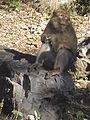 Macaque berbère à Ziama Mansouriah 10 (Algérie).jpg