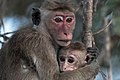 Macaque monkey with kid.jpg
