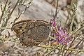 Macedonian grayling (Pseudochazara cingovskii) Macedonia.jpg