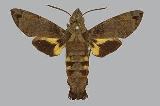 Macroglossum aquila - Image: Macroglossum aquila BMNHE272665 male up