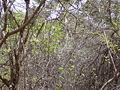 Macrosphyra longistyla 0011.jpg