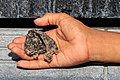 Madai Sabah Bird-nest-of-a-black-nest-swiftlet-01.jpg
