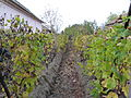 Magaságyásos szőlő, Dabas - 2013.10.22.JPG