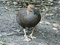Magellan Goose female RWD.jpg
