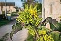 Mahonia aquifolium in Aveyron (2).jpg
