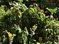 Maianthemum gigas Irazu 3.jpg