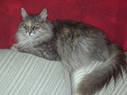 This Maine coon clearly shows the breed's characteristic long coat.