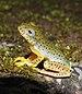 Malabar Gliding Frog Rhacophorus malabaricus Juvenile by Dr. Raju Kasambe DSCN0188 (21).jpg