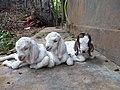 Malabar lambs.jpg