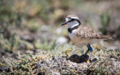 Malagasy plover.png
