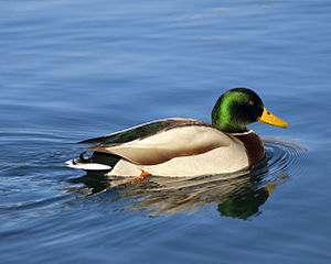 Mallard on Lake Bled.jpg