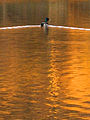 Mallard on Panther Hollow Lake (469227549).jpg