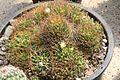 Mammillaria decipiens ssp camptotricha pm.jpg
