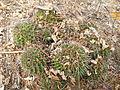 Mammillaria polyedra (5741813891).jpg